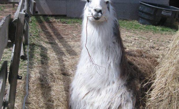Tony the Llama
